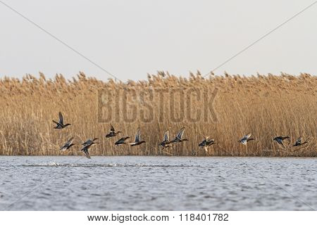 flock of migratory ducks on the water