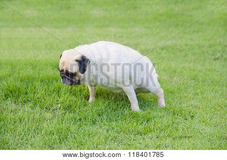 Close-up female cute dog puppy Pug pee on green grass