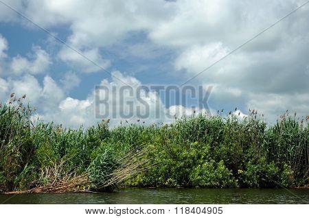Sedge In The Marshland In Spring