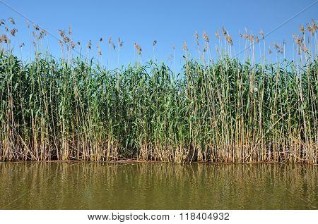 Sedge in the marshland in spring. Danube delta Romania