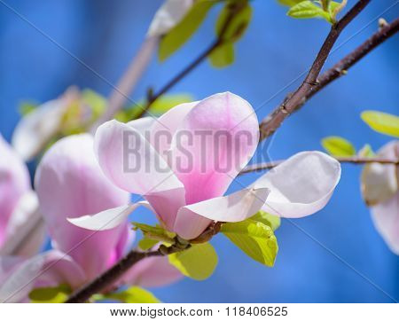 Beautiful Pink Magnolia Flowers on the Blue Sky Background. Spring Floral Image