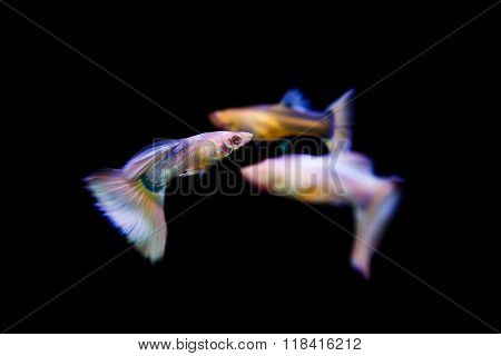 Swimming guppy tropical fish pet in water.