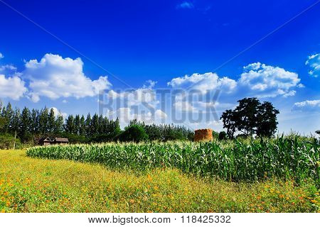 Corn field and flowers to the sky