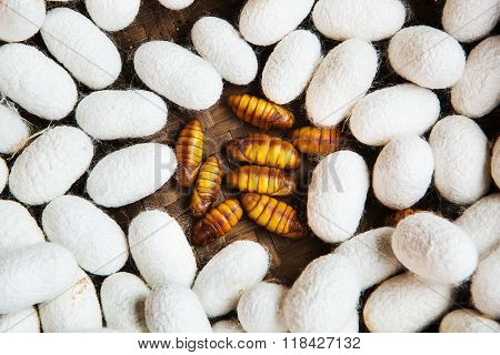 Closeup of Silkworm pupae Life cycle of Silkworm