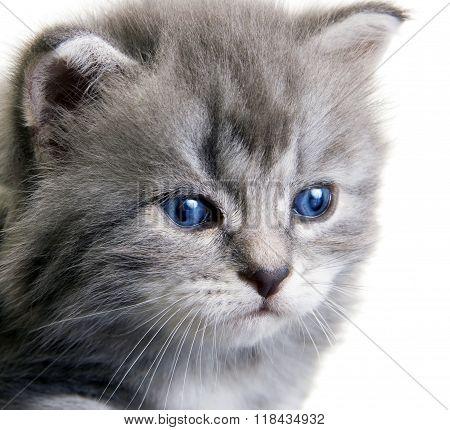 Kitten with dark blue eyes