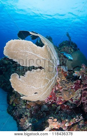 Sea Fans on a reef