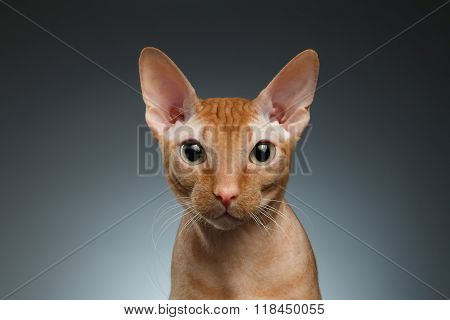 Closeup Funny Ginger Sphynx Cat Curiously Looking In Camera On Background