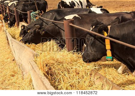 Black-white Milch Cows Eat Hay Behind Barrier Outdoors