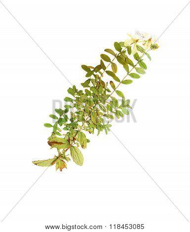 Pressed And Dried Flower Hypericum Perforatum.