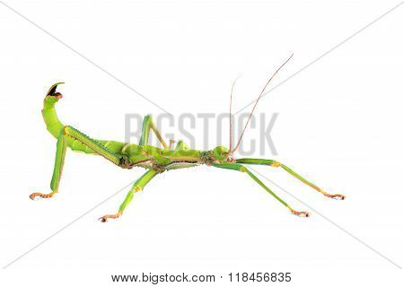 green stick insect Diapherodes gigantic isolated over white