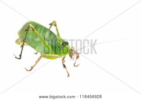 Green giant katydid Ancylecha fenestrate isolated over white
