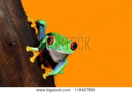 Red-eye tree frog Agalychnis callidryas over orange background