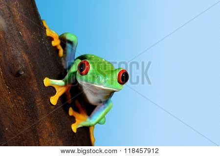 Red-eye tree frog Agalychnis callidryas over sky blue background