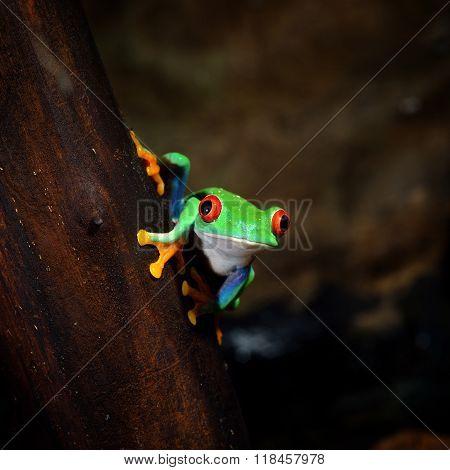 Red-eye tree frog Agalychnis callidryas on a tree