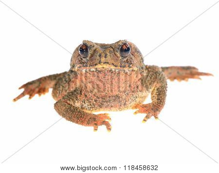 Bony-headed Toad Ingerophrynus Galeatus Isolated On White