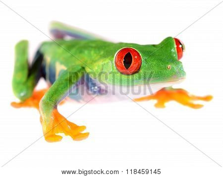 Red-eye Tree Frog  Agalychnis Callidryas Isolated On White