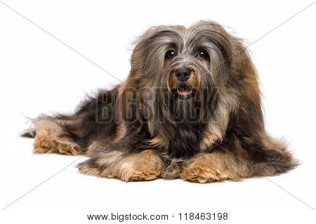 Beautiful Lying Long-haired Bichon Havanese Dog