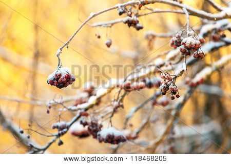 Frozen Bunches Of Ashberries In Winter