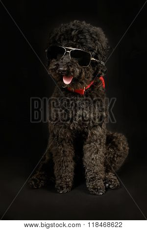 Black Poodle With Sunglasses