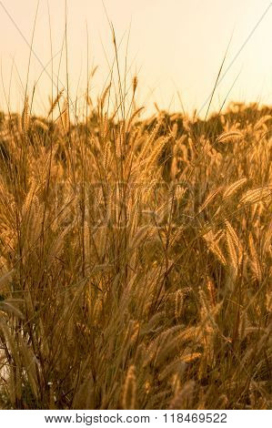 Backlit foxtails grass under sunshine close-up selective focus