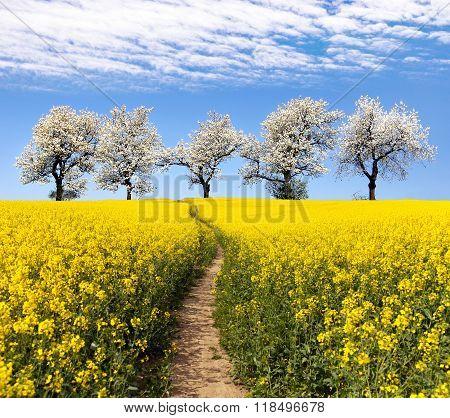 Rapeseed Field, Parhway, Alley Of Flowering Cherry Trees
