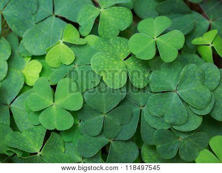 Clover background. Green background with three-leaved shamrocks.