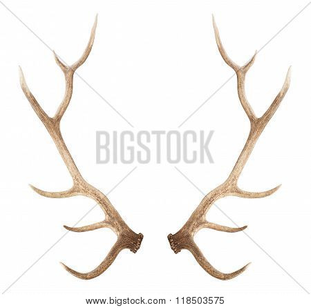 Large Antler Isolated On White Background