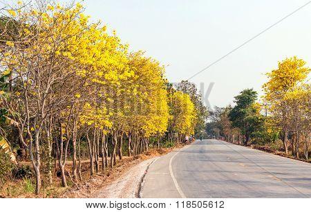 Yellow trumpet tree