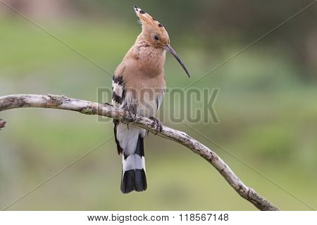 Hoopoe sing a spring song