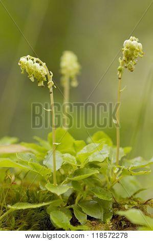 Serrated Wintergreen