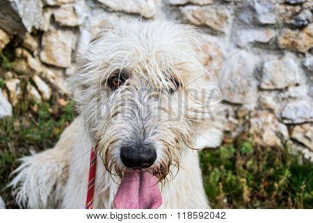 Portrait Of Beautiful Irish Wolfhound Dog, White Irish Wolfhounds Tongue With Saliva,