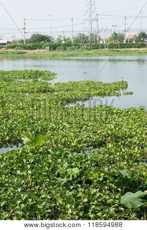 Water Hyacinth In The River, Eichhornia Crassipes