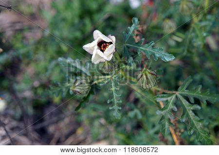Bladder Hibiscus