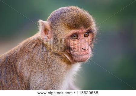 Portrait Of Rhesus Macaque (macaca Mulatta)