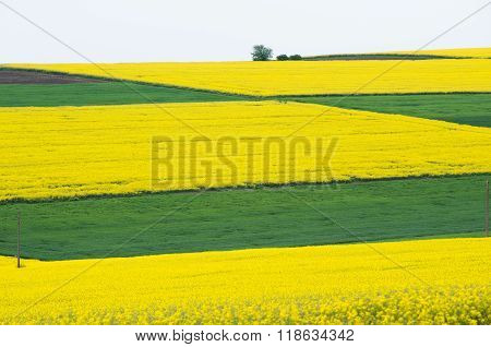 Fields with rape.