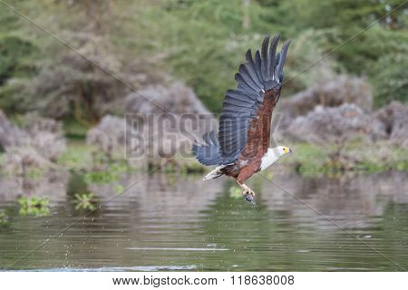African Fish-eagle Catching A Fish