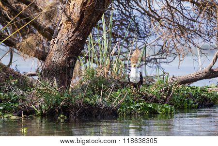 African Fish-eagle Staring At The Water Edge
