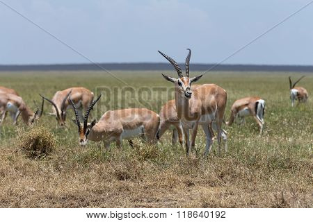 A Group Of Thomson's Gazelles Grazing