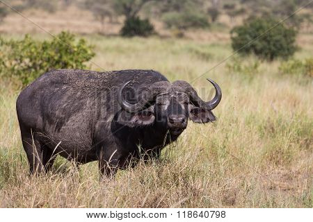 A Grazing Buffalo