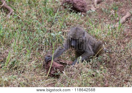 A Young Baboon Looking For Food