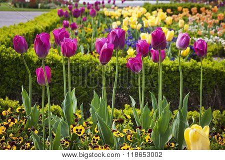 Colourful Tulips In The Garden
