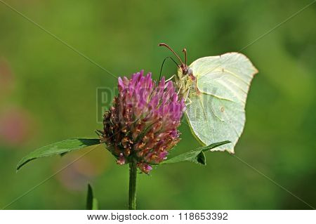 common brimstone on flower with green background
