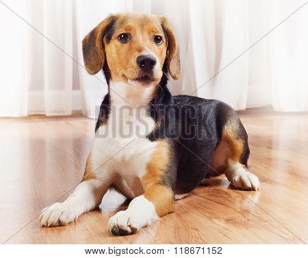 Cute Beagle Puppy At Home.