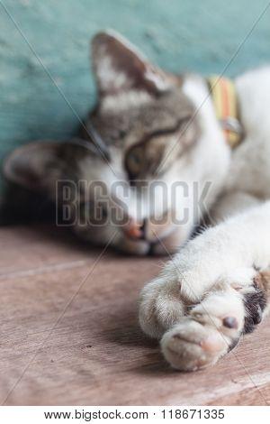 Thai Cat Lying Down In Garden Home