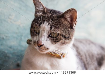 Thai Cat Pose With Green Background