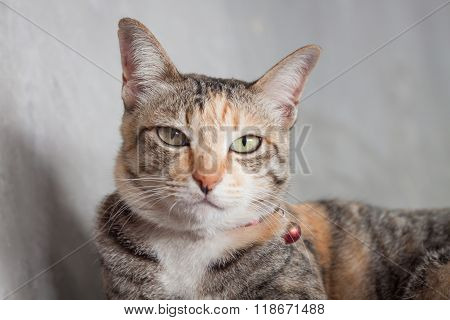 Thai Cat Pose With Grey Background