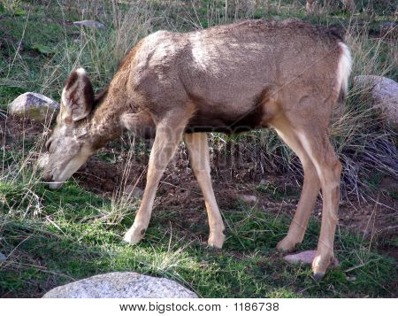 young female mule deer feeding in the mountains poster