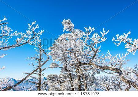 Snow Trees,seoraksan In Winter,korea