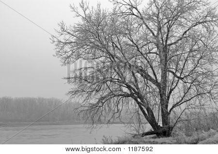 Large Tree On Edge Of Missouri River