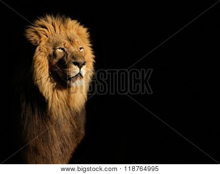 Portrait of a big male African lion (Panthera leo) against a black background, South Africa